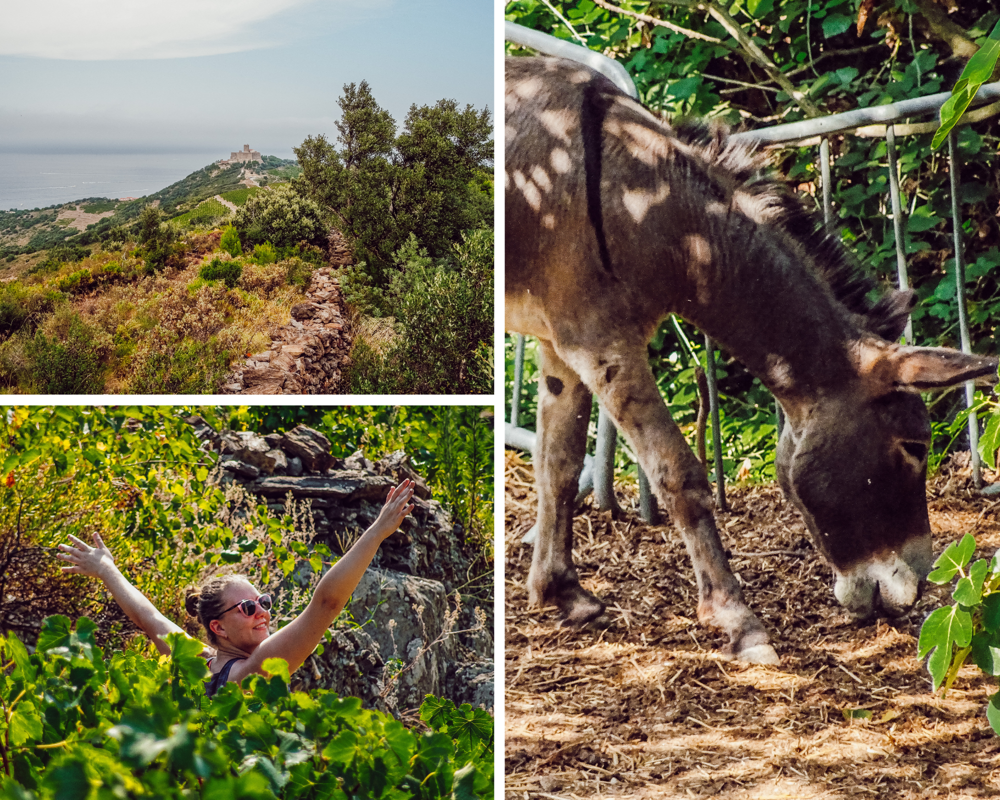 Joie sur la randonnée des Hauts Collioure